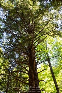 Weathersfield Hikes-The Ancient Hemlocks