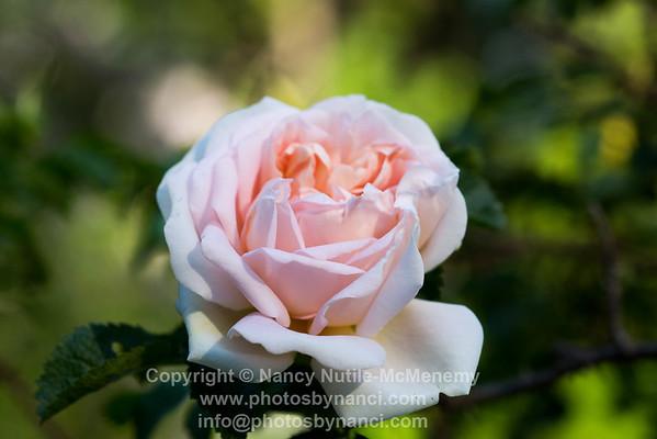 Agnes Rose
