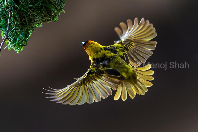 Black - Headed Weaver entering nest