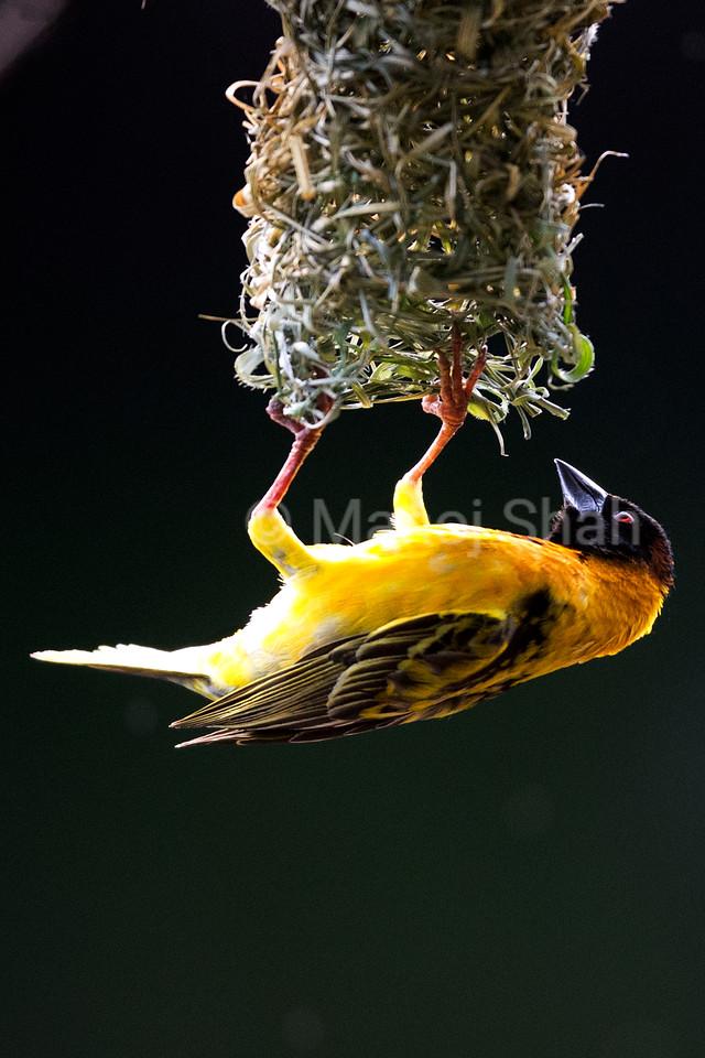 Back - Headed weaver