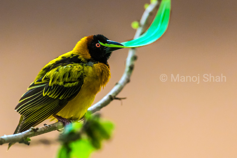 Black  Headed Weaver with a grasss blade in beak for nest building