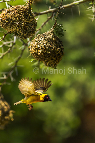 Black headed weaver finishing his nest on an acacia tree branch in Masai Mara