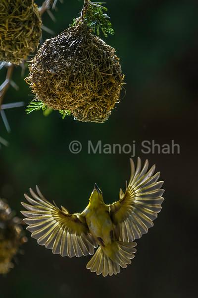 Female Black Headed Weaver flies to her chosen nest on an acacia tree in Masai Mara.