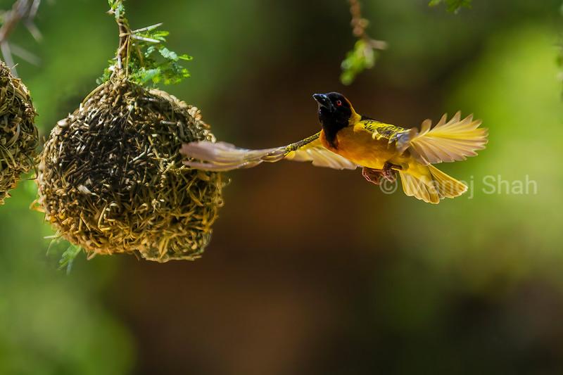 Male Black Headed Weaver in flight around the nests on the acacia tree in Masai Mara.