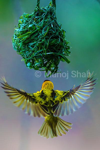 Male Black Headed Weaver flying to his nest.