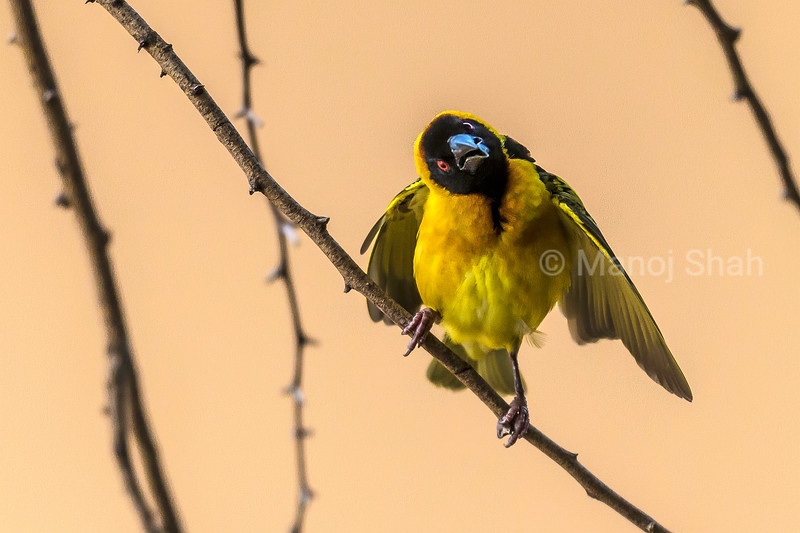 Male Black Headed weaver takes a rest on an acacia branch while nest building in Masai Mara.