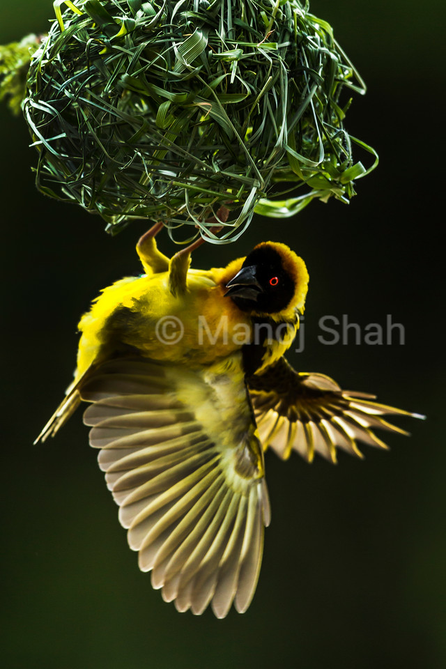 Black Headed Weaver - building nest from grass stems - Masai Mara National Reserve, Kenya