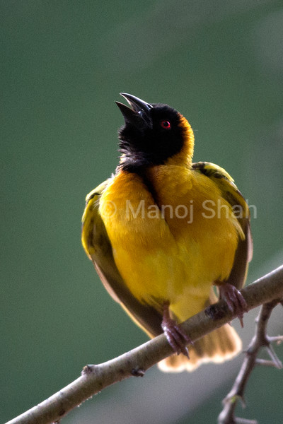 Back - Headed weaver