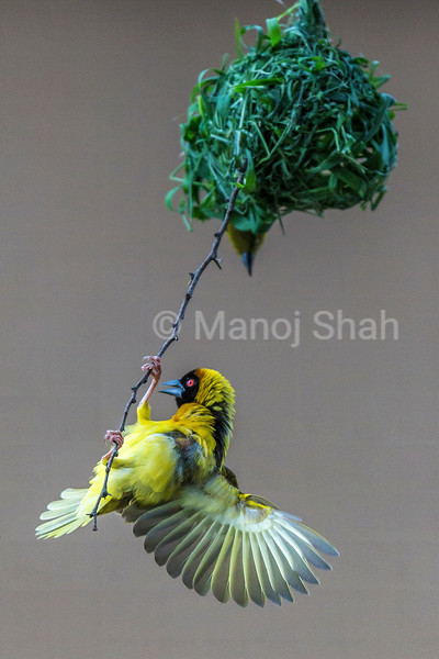 Male Black Headed weaver surveying his nest on Acacia tree in Masai Mara