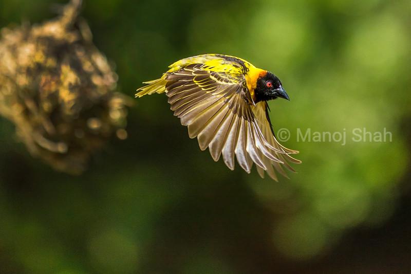 Black Headed weaver in flight around nests on Acacia tree in Masai Mara.