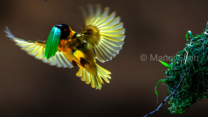 Black Headed Weaver with a grass blade in beak for nest building