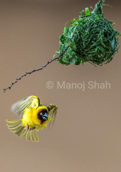 Male Black Headed weaver surveying his nest on Acacia tree in Masai Mara