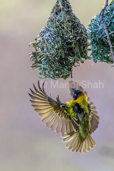 Male Black Headed Weaver building his nest in Masai Mara