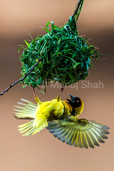 Black  Headed Weaver fluttering its wings to attract females