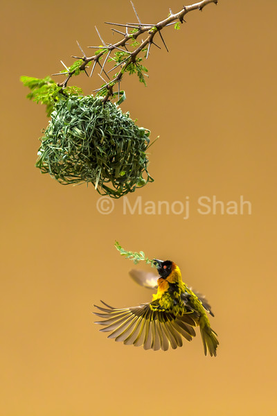 Male Bllack Headed Weaver in flight for nest building on an acacia tree in Masai Mara.