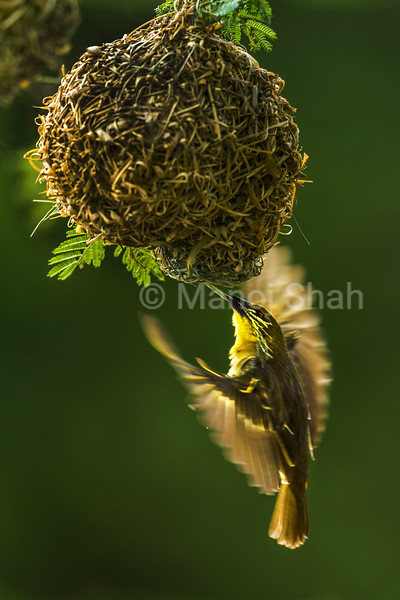 Female Black headed weaver repairs the nest on the Acacia tree in Masai Mara.