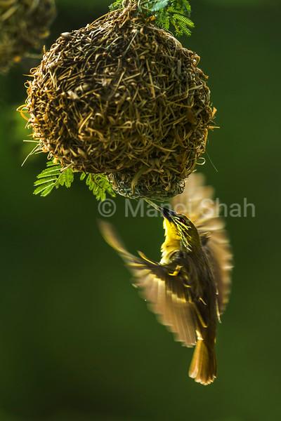 Female Black headed weaver repairs the nest on the Acacia tree in Masai Mara.