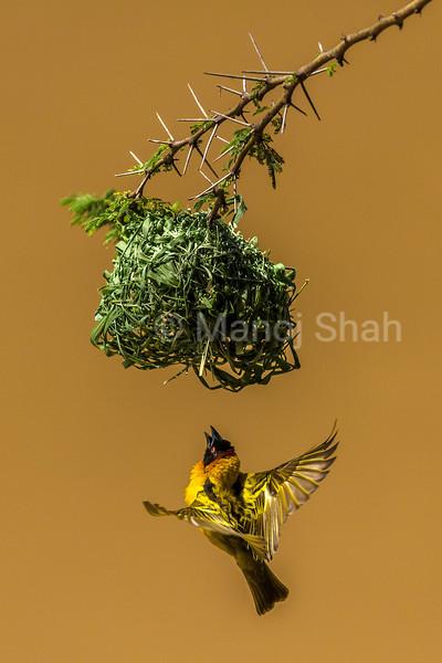 Malr Bllack Headed Weaverin flight for nest building on an acacia tree in Masai Mara.