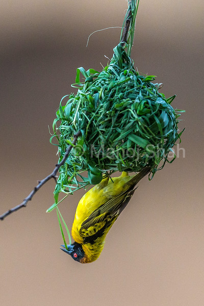 Male Black Headed Weaver building his nest in Masai Mara