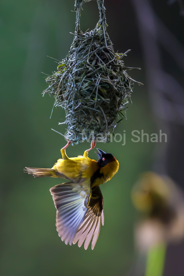 Male Black Headed weaver flapping his wings with shrill cries to attract females to his nest.