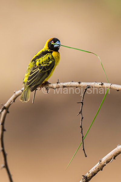 The Bkack Headed Weaver sits on an Acacia branch witha grass stem in his beak for nest buildiing in Masai Mara.