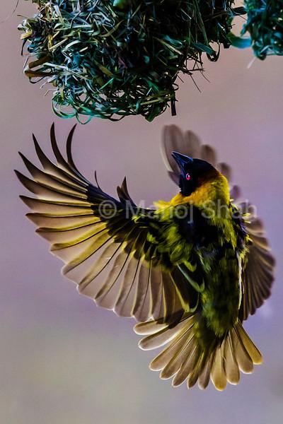 Black Headed Weaver