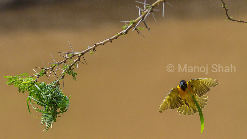 Black headed weaver finishing his nest on an acacia tree branch using grass stems in Masai Mara