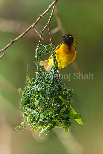 Male Black Headed weaver takes a rest while nest building in Masai Mara.