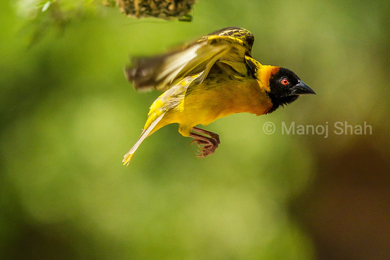 Black headed weaver flying to  his nest on an acacia tree branch in Masai Mara