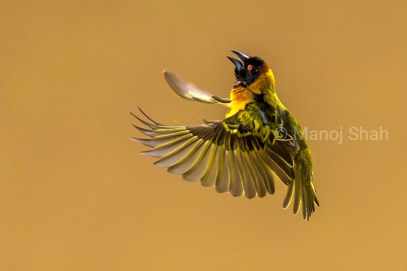 Malr Bllack Headed Weaver flies for nest building in Masai Mara