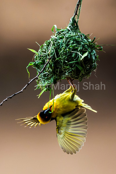 Black headed weaver - male building nest using grass stems - Masai Mara National Reserve, Kenya