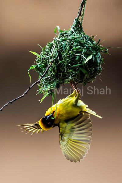 Black headed weaver - male building nest using grass stems - Masai Mara National Reserve, Kenya