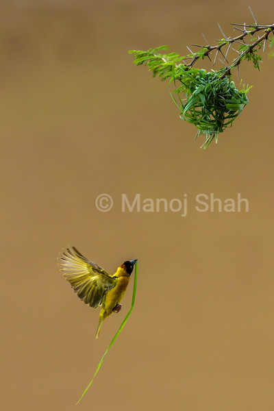 Malr Bllack Headed Weaver Carries a grass stem in beak for nest building in Masai Mara