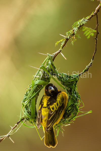 Male Bllack Headed Weaver sits on an unfinished nest on an acacia tree in Masai Mara.