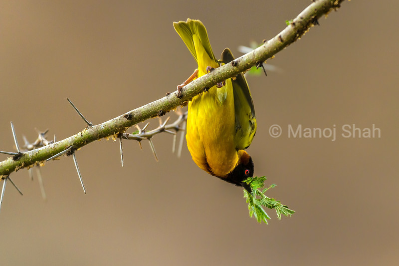 Male Black Headed Weaver has leaves in his beak for nest building on an Acacia tree in Masai Mara