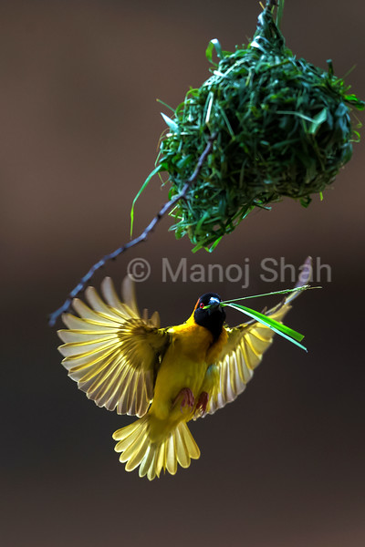 Black - Headed Weaver buioding nest using grass stems carried in its beak.