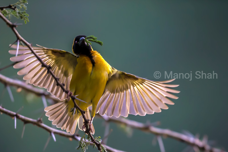Male Black Headed weaver spreading his wings to attract females to his nest.