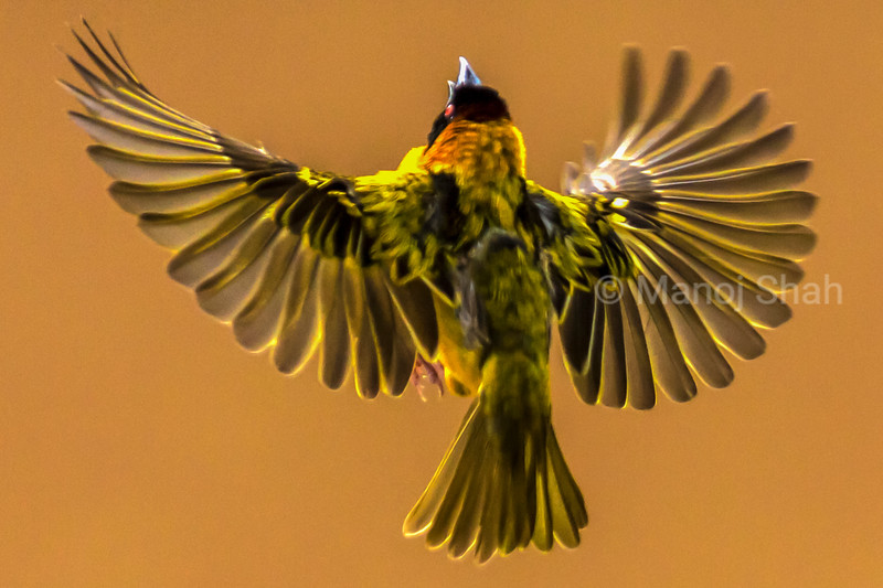 Black Headed Weaver - Flying to inspect nest - Masai Mara National Reserve, Kenya