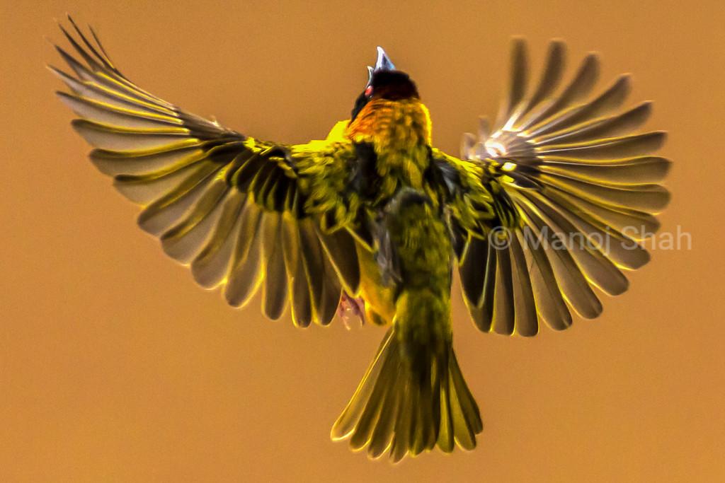 Black Headed Weaver - Flying to inspect nest - Masai Mara National Reserve, Kenya