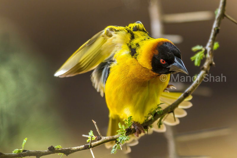 Male Bllack Headed Weaver sits on a branch for nest building on an acacia tree in Masai Mara.