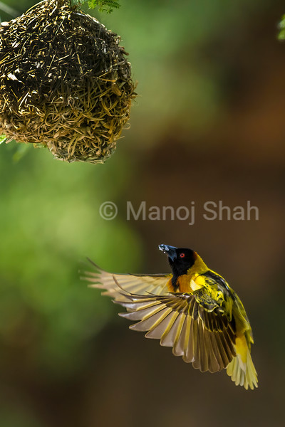 Male Black Headed Weaver in flight around the nests on the acacia tree in Masai Mara.