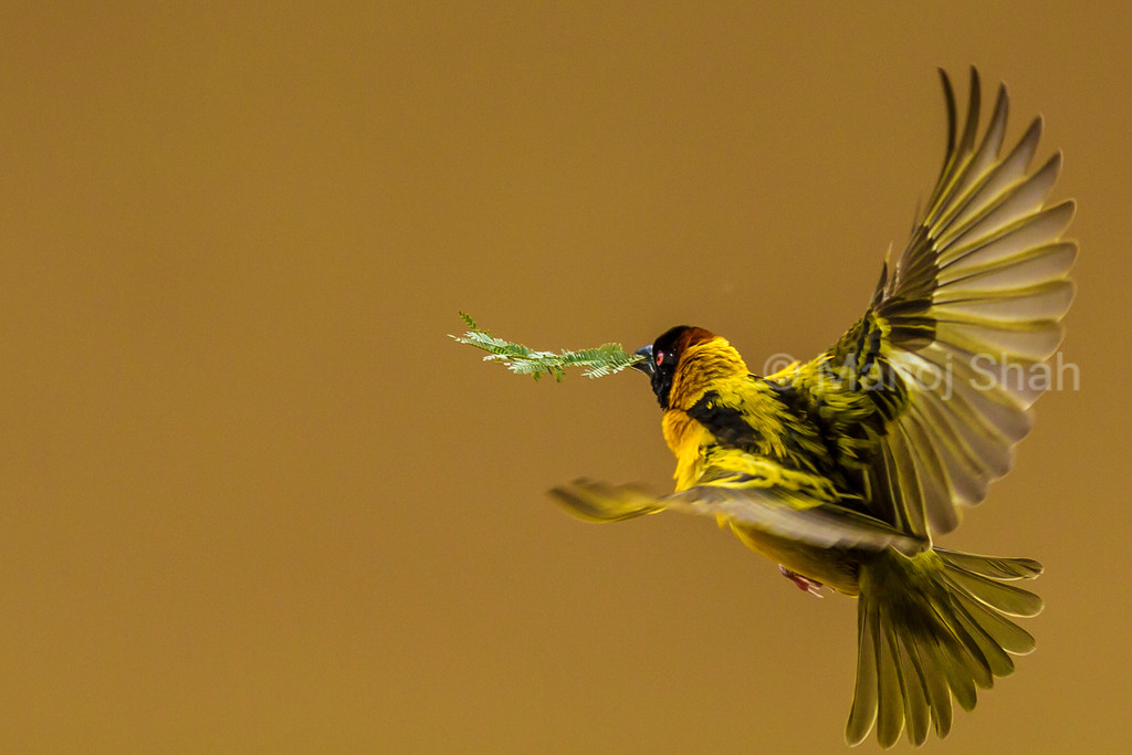 Black Headed Weaver - with nest building Acacia leaves  - Masai Mara National Reserve, Kenya