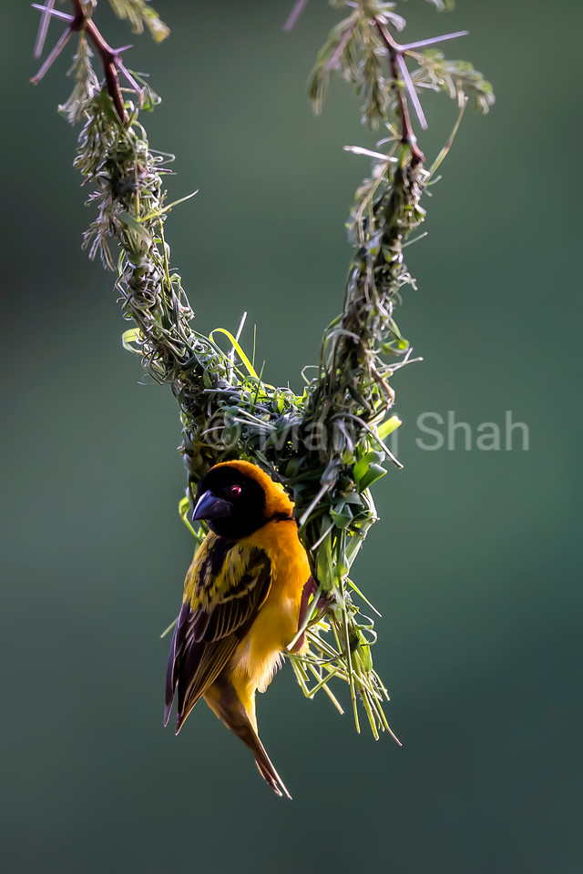 Male Black Headed weaver examining his unfinished nest an an acacia tree in Masai Mara.