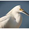 Snowy Egret<br /> Egretta thula<br /> Catalog:0202N
