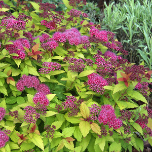 Spiraea Walberton's Magic Carpet