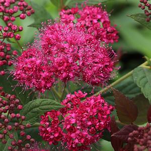 Spiraea Walberton's Plumtastic Flowers