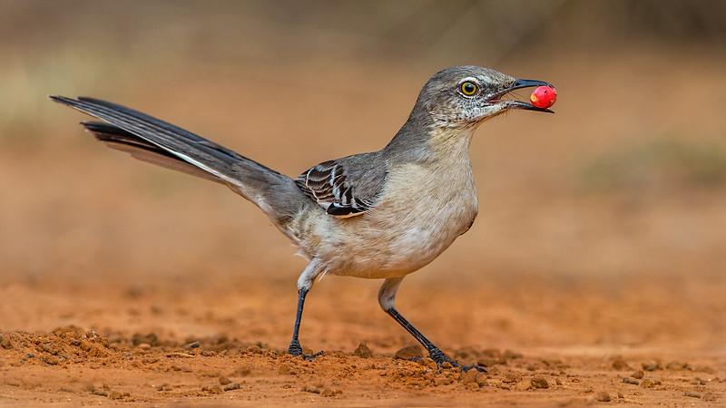 Norther Mockingbird