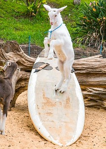 "A goat showing why it is called the ""Surfing Goat Dairy"" on the island of Maui, Hawaii."