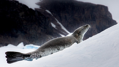 A crabeater seal raises its head from its slumber as we cruise past in our zodiac.  Cierva Cove, Antarctica.