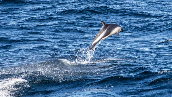 A Peale's Dolphin paces our ship en route to the Falkland Islands in the South Atlantic Ocean.